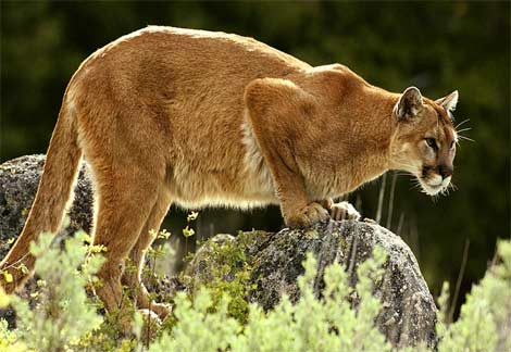 mountain-lion.jpg (470×324)